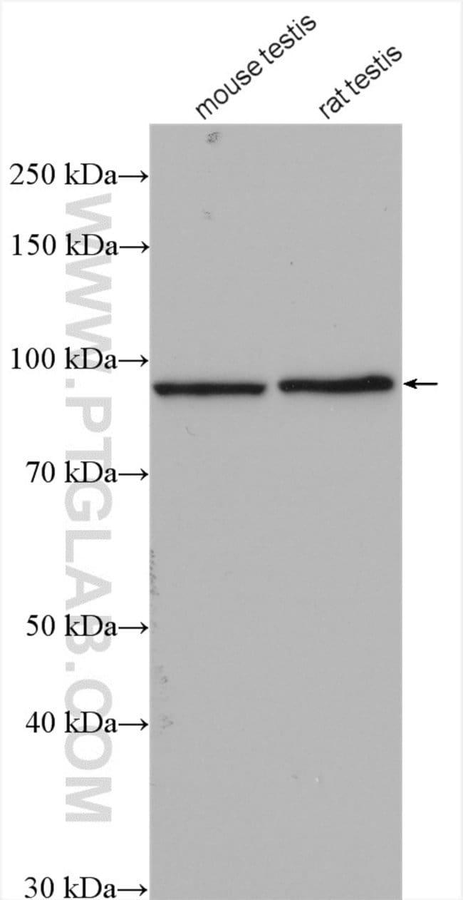 KIF6 Rabbit anti-Human, Mouse, Rat, Polyclonal, Proteintech 150 μL; Unconjugated Ver productos