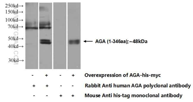 AGA Rabbit anti-Human, Mouse, Rat, Polyclonal, Proteintech 150 μL; Unconjugated Ver productos