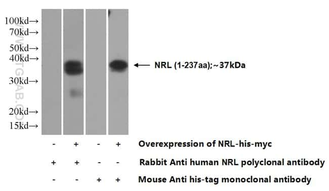 NRL Rabbit anti-Human, Mouse, Rat, Polyclonal, Proteintech 20 μL; Unconjugated Produkte