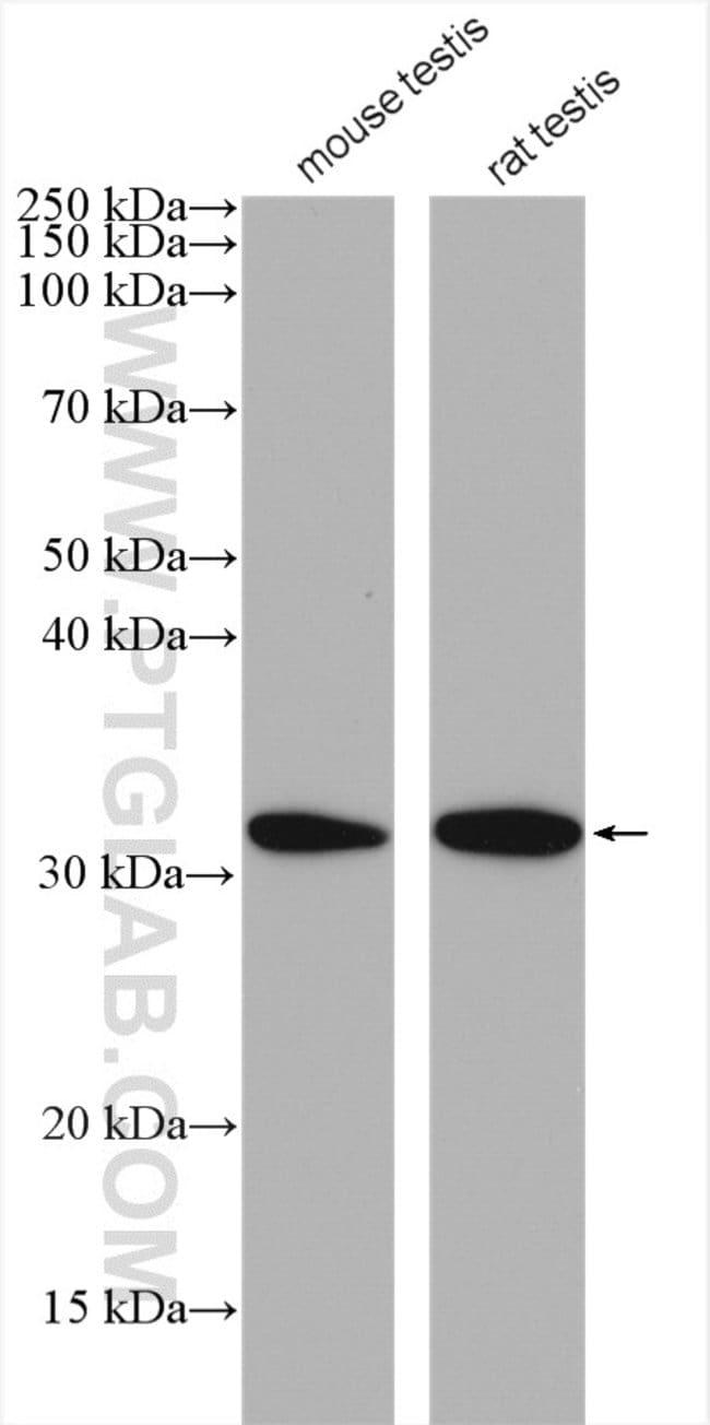 DNALI1 Rabbit anti-Human, Mouse, Rat, Polyclonal, Proteintech 150 μL; Unconjugated Produkte
