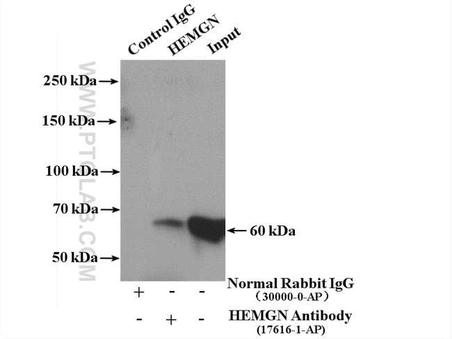 HEMGN Rabbit anti-Human, Mouse, Polyclonal, Proteintech 20 μL; Unconjugated Ver productos