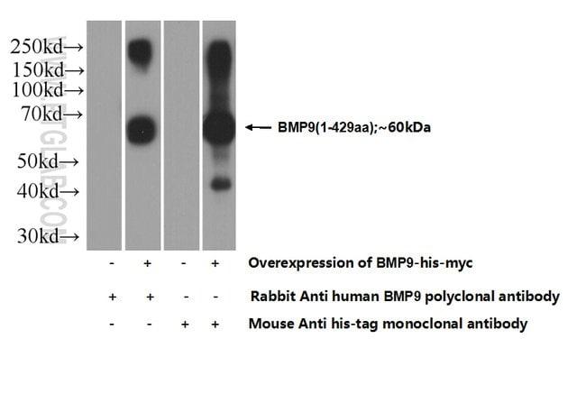 BMP9 Rabbit anti-Human, Polyclonal, Proteintech 20 μL; Unconjugated Ver productos