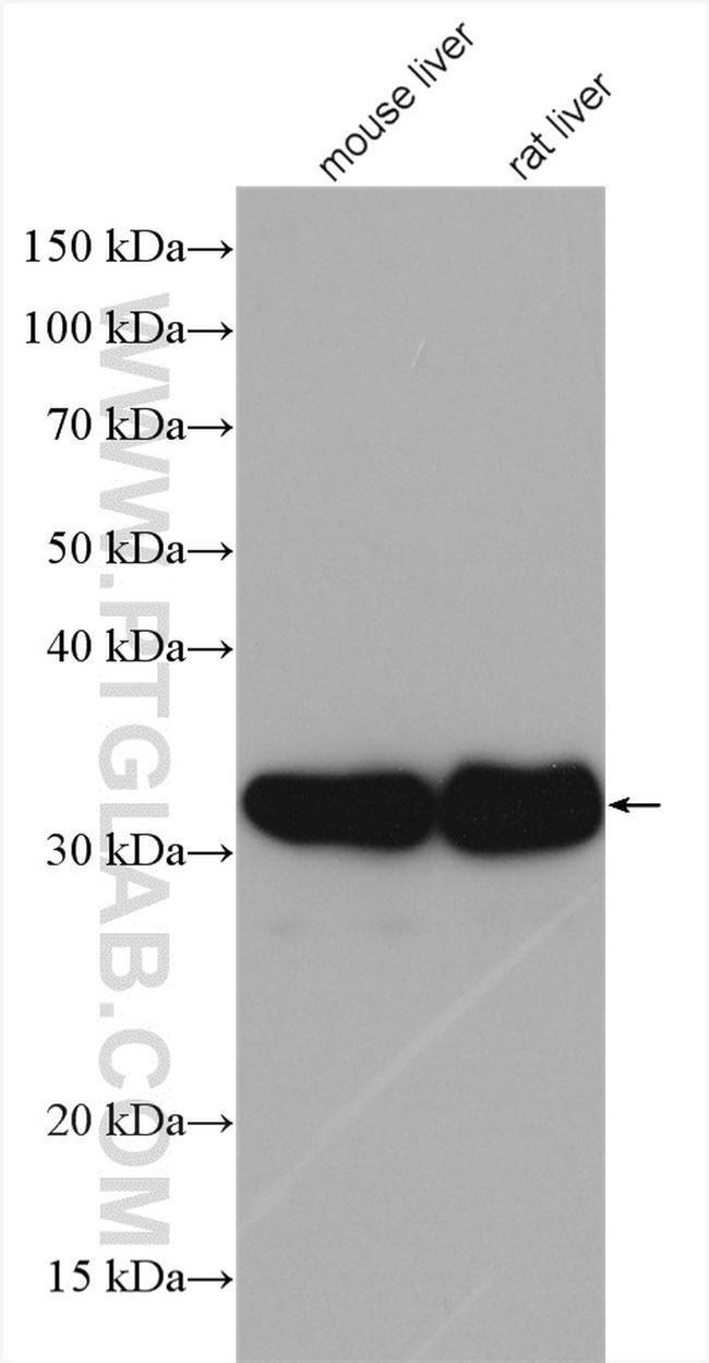 RGN/SMP30 Rabbit anti-Human, Mouse, Rat, Polyclonal, Proteintech 20 μL; Unconjugated Ver productos