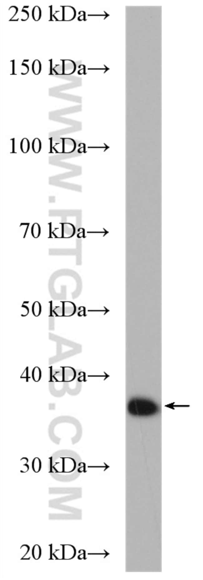CCNY Rabbit anti-Human, Mouse, Rat, Polyclonal, Proteintech 20 μL; Unconjugated Ver productos