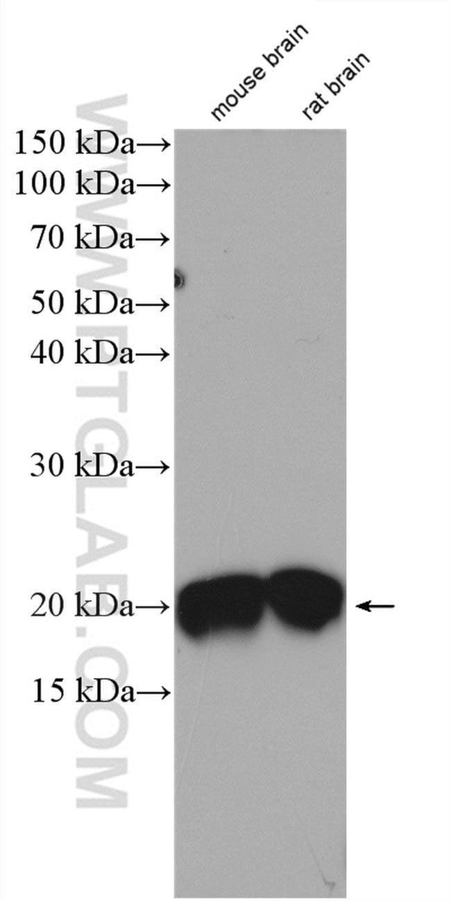 CPLX2 Rabbit anti-Human, Mouse, Rat, Polyclonal, Proteintech 20 μL; Unconjugated Ver productos