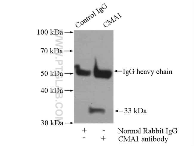 Mast Cell Chymase Rabbit anti-Human, Mouse, Rat, Polyclonal, Proteintech 20 μL; Unconjugated Ver productos