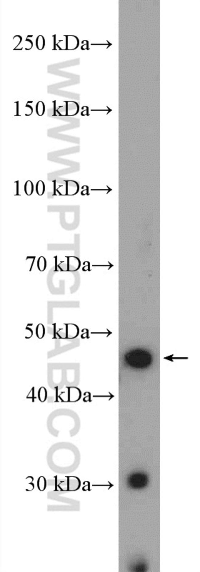 BMP2 Rabbit anti-Human, Polyclonal, Proteintech 20 μL; Unconjugated Ver productos