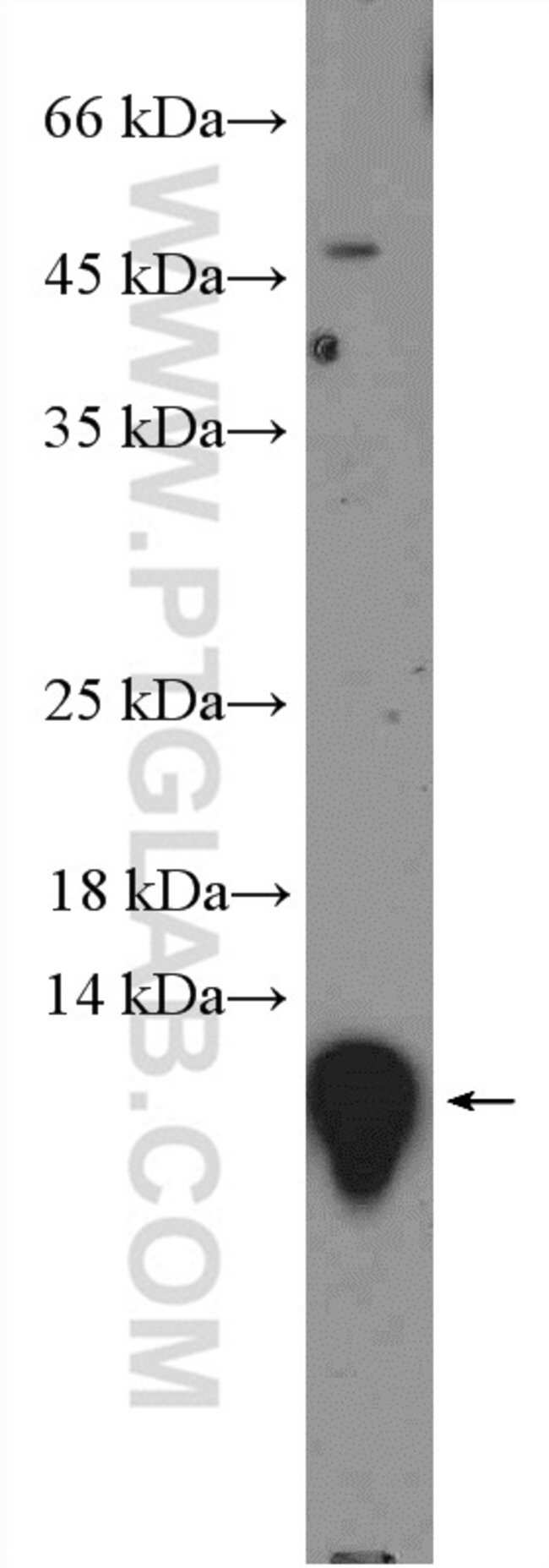 MIF Rabbit anti-Human, Mouse, Rat, Polyclonal, Proteintech 20 μL; Unconjugated Ver productos