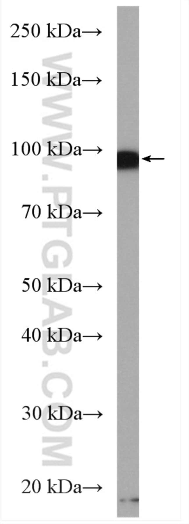 PSD95/DLG4 Rabbit anti-Human, Mouse, Rat, Polyclonal, Proteintech 150 μL; Unconjugated Ver productos
