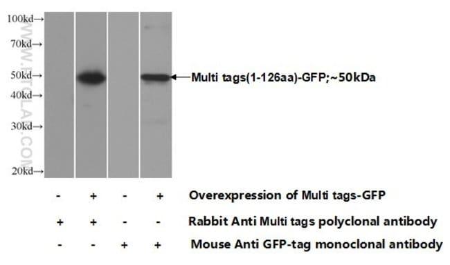 Multi tags Rabbit anti-Human, Polyclonal, Proteintech 150 μL; Unconjugated Ver productos