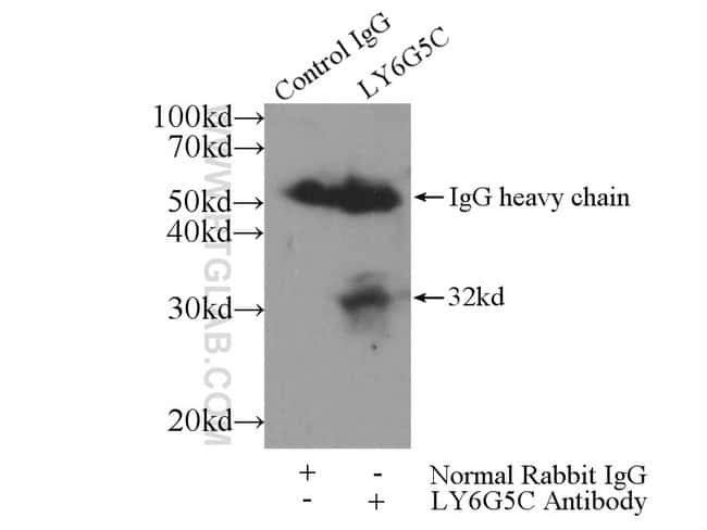 LY6G5C Rabbit anti-Human, Mouse, Polyclonal, Proteintech 150 μL; Unconjugated Ver productos