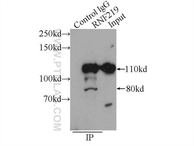 RNF219 Rabbit anti-Human, Polyclonal, Proteintech 20 μL; Unconjugated Produkte