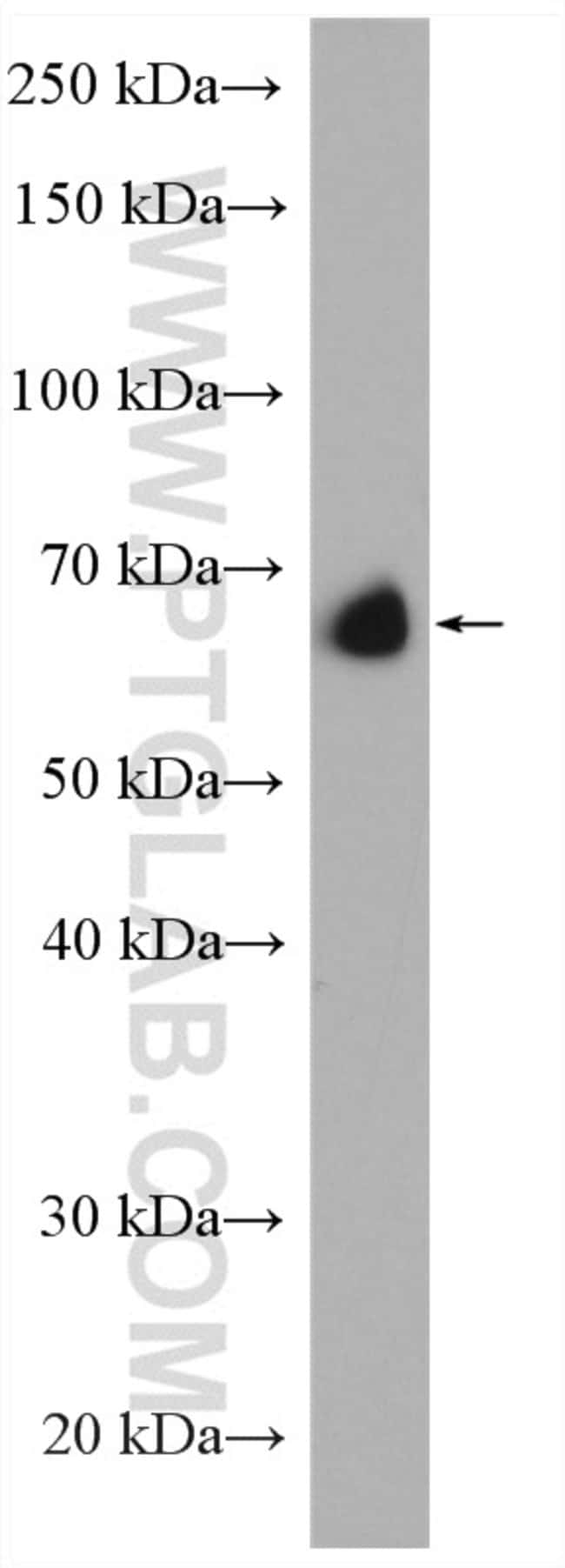 SP2 Rabbit anti-Human, Polyclonal, Proteintech 150 μL; Unconjugated Ver productos