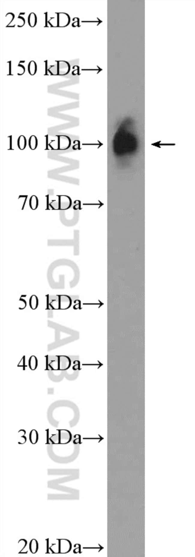 ZNF483 Rabbit anti-Human, Polyclonal, Proteintech 20 μL; Unconjugated Produkte