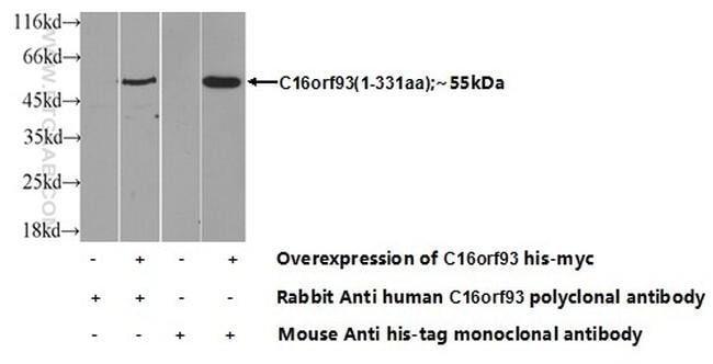 C16orf93 Rabbit anti-Human, Polyclonal, Proteintech 20 μL; Unconjugated Produkte