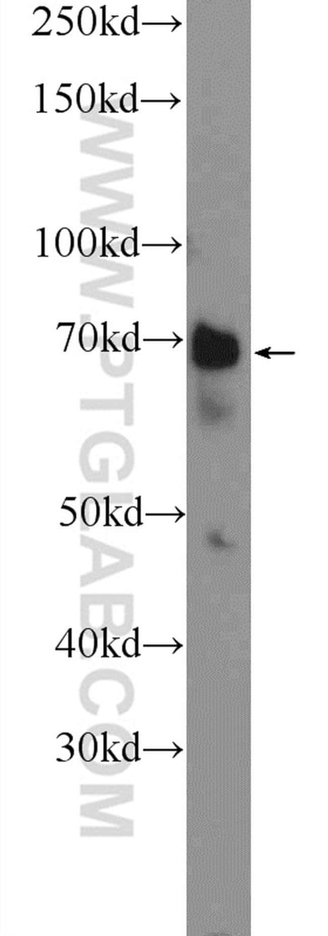 WDR76 Rabbit anti-Human, Polyclonal, Proteintech 20 μL; Unconjugated Produkte
