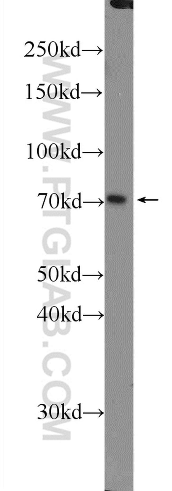 MUPCDH Rabbit anti-Human, Polyclonal, Proteintech 20 μL; Unconjugated Produkte