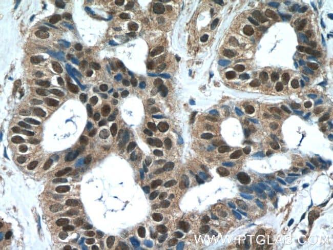 WDR38 Rabbit anti-Human, Polyclonal, Proteintech 20 μL; Unconjugated Produkte