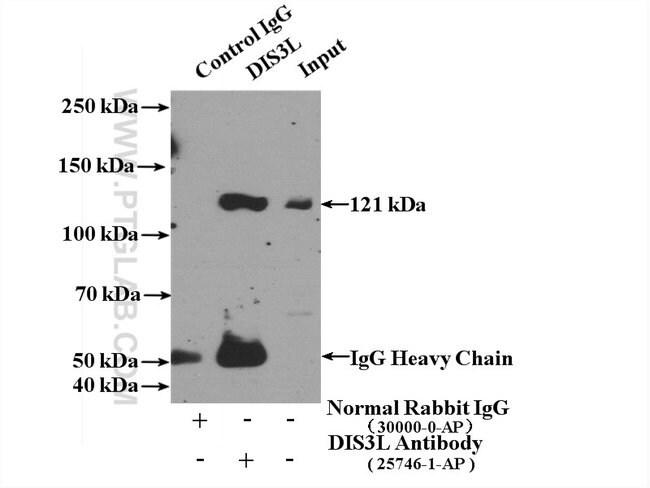DIS3L Rabbit anti-Human, Polyclonal, Proteintech 20 μL; Unconjugated Produkte