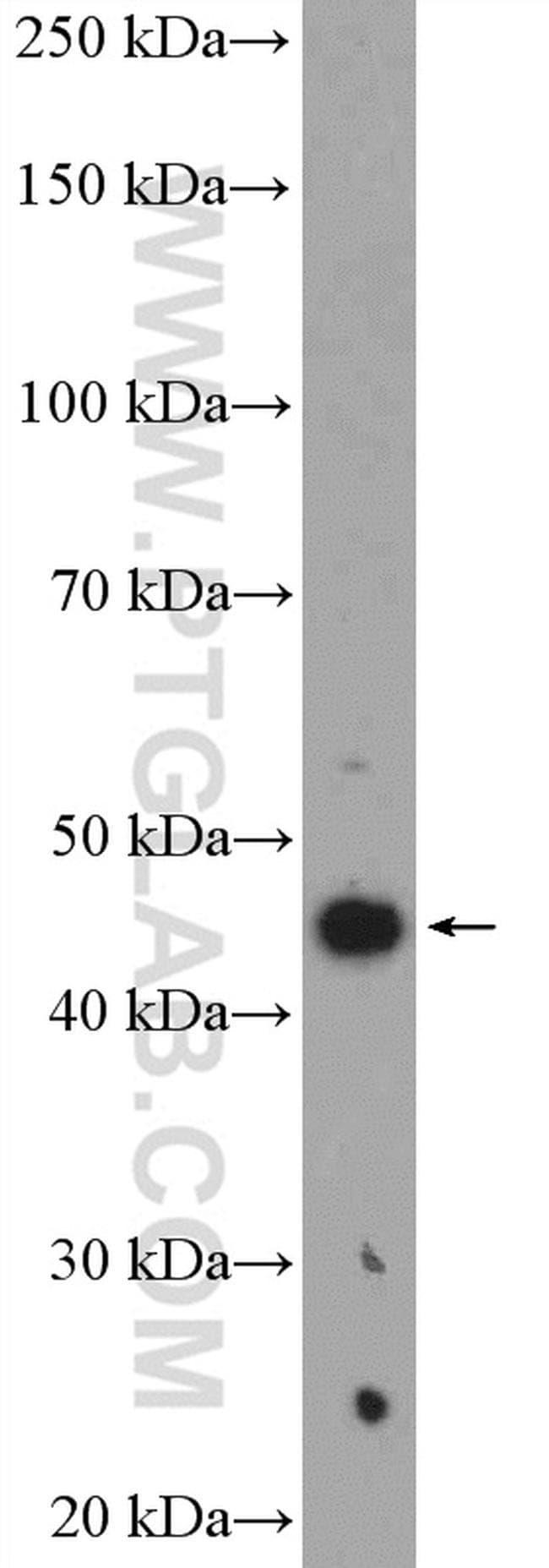 Vegfa Rabbit anti-Mouse, Polyclonal, Proteintech 20 μL; Unconjugated Produkte