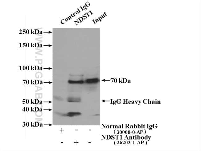 NDST1 Rabbit anti-Human, Mouse, Polyclonal, Proteintech 150 μL; Unconjugated Ver productos