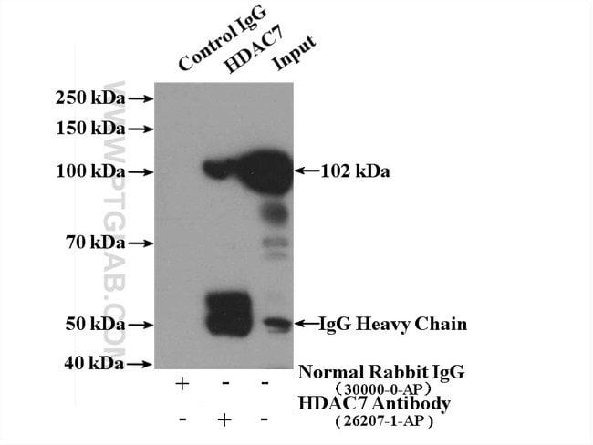 HDAC7 Rabbit anti-Human, Polyclonal, Proteintech 20 μL; Unconjugated Produkte