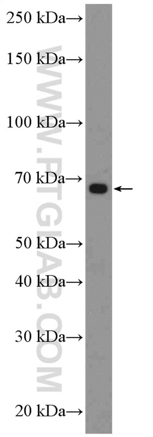 C14orf93 Rabbit anti-Human, Polyclonal, Proteintech 150 μL; Unconjugated Ver productos