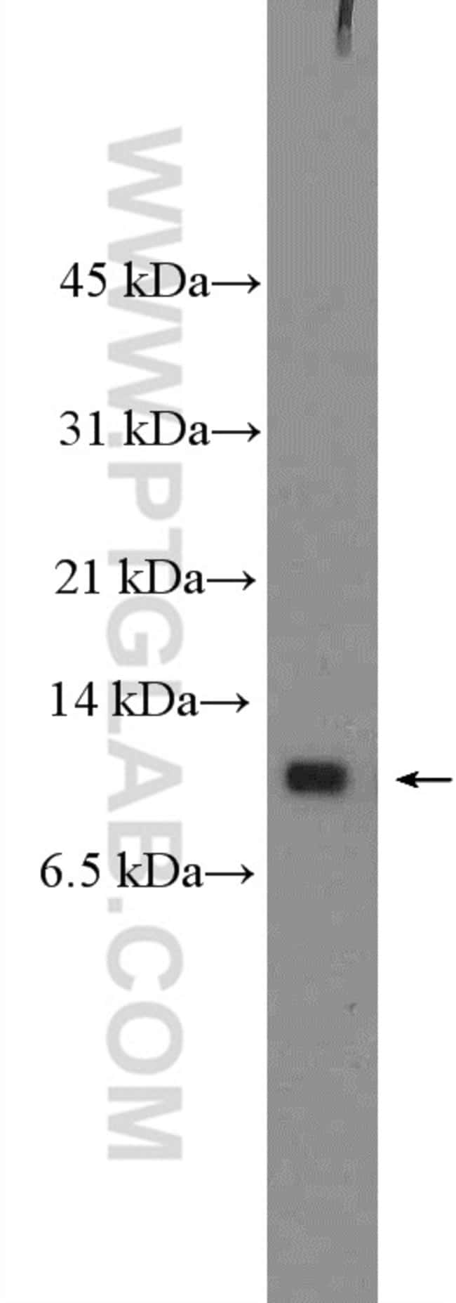 Neuronatin Rabbit anti-Human, Polyclonal, Proteintech 20 μL; Unconjugated Produkte