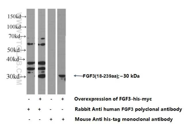 FGF3 Rabbit anti-Human, Polyclonal, Proteintech 20 μL; Unconjugated voir les résultats