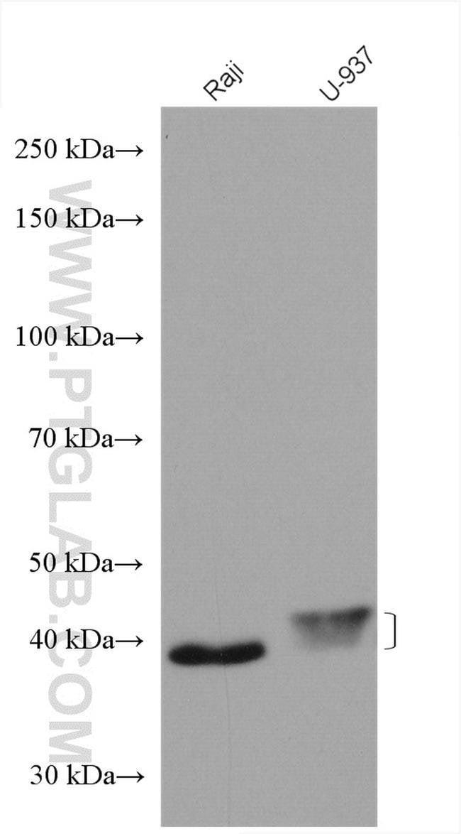 FCGR2A / CD32a Rabbit anti-Human, Polyclonal, Proteintech 20 μL; Unconjugated Produkte