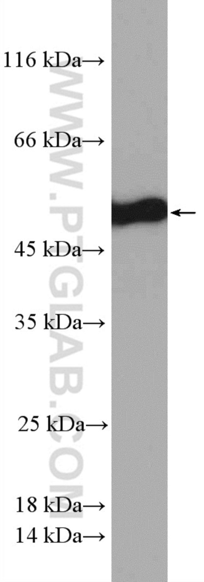 STAMBPL1 Rabbit anti-Human, Polyclonal, Proteintech 150 μL; Unconjugated Ver productos