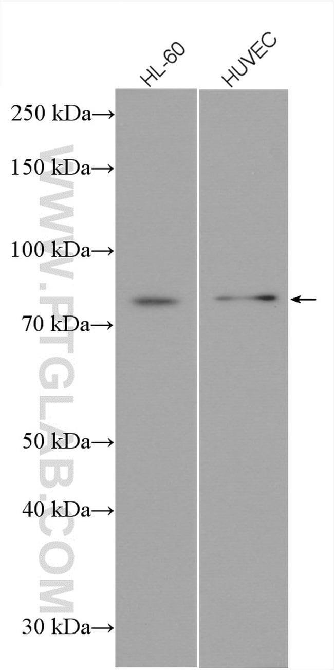 ICAM2 Rabbit anti-Human, Mouse, Polyclonal, Proteintech 20 μL; Unconjugated Produkte