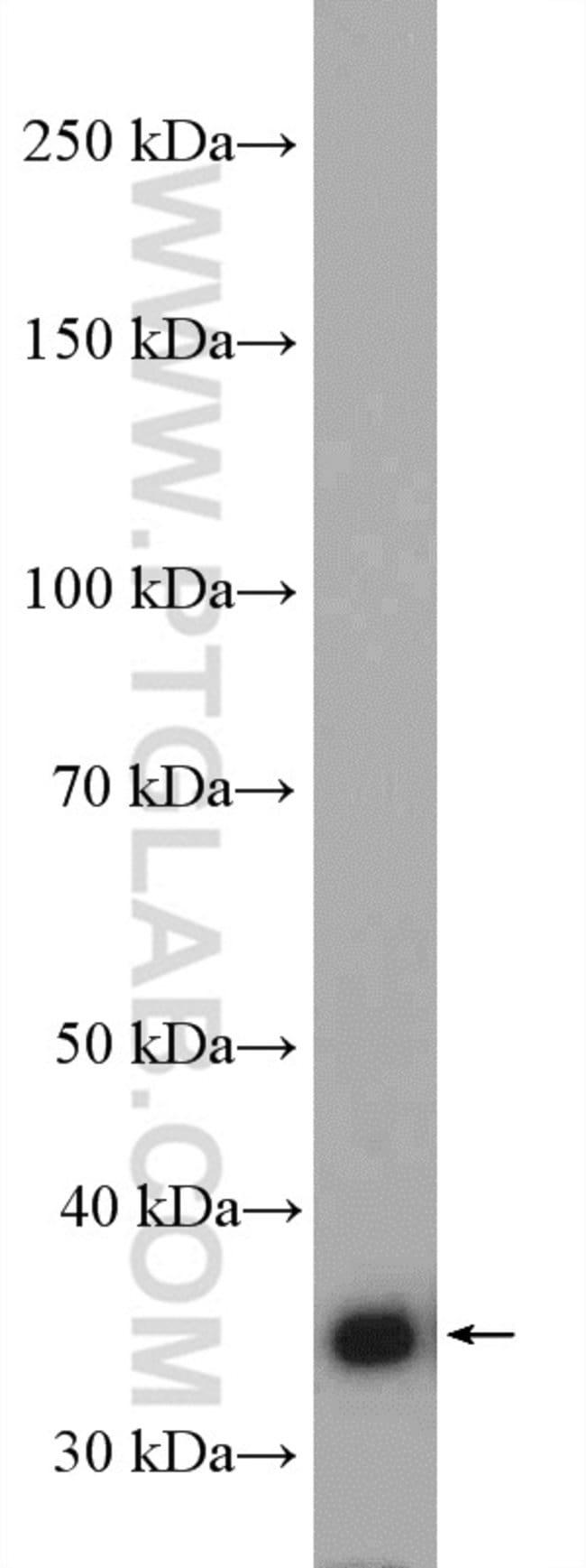 JAB1 Rabbit anti-Human, Polyclonal, Proteintech: Page d'accueil