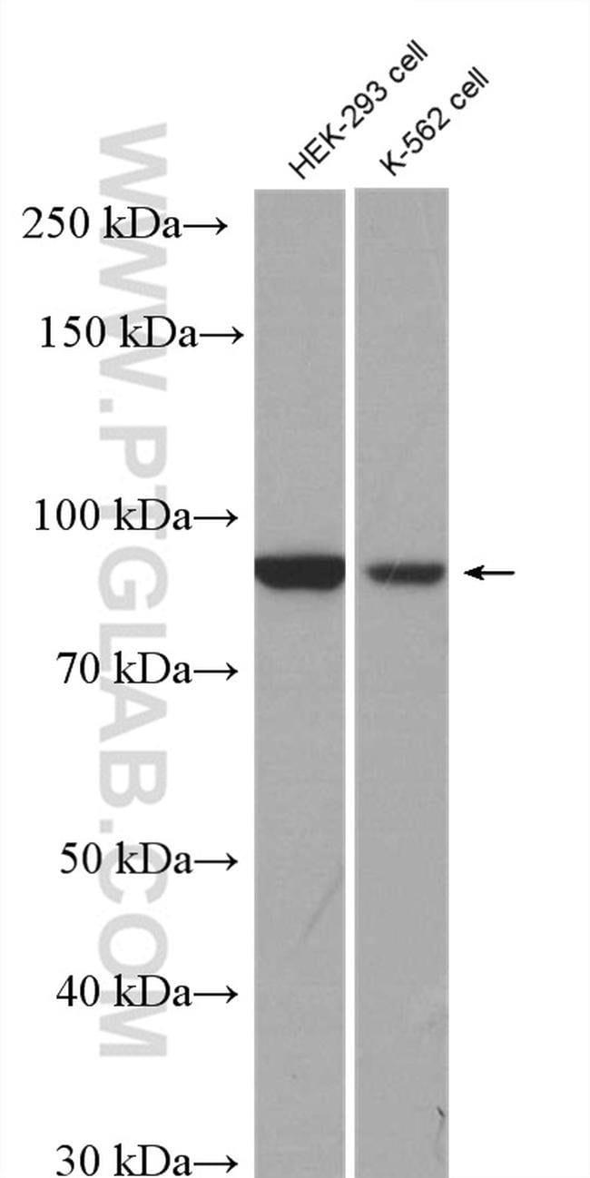 RRP1B Rabbit anti-Human, Polyclonal, Proteintech 20 μL; Unconjugated Produkte
