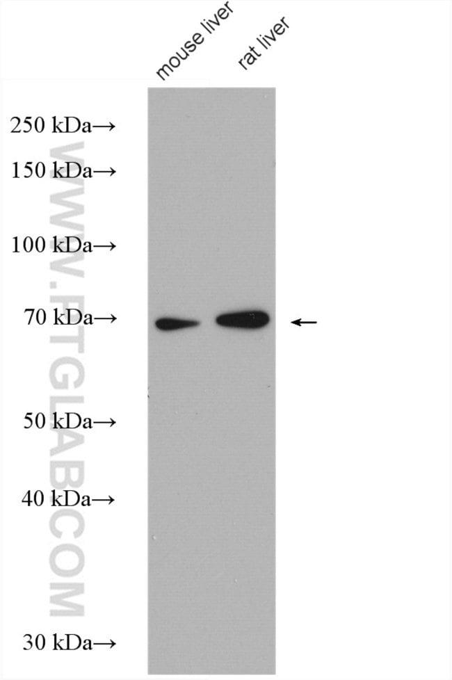 C7orf43 Rabbit anti-Human, Mouse, Rat, Polyclonal, Proteintech 20 μL; Unconjugated Produkte