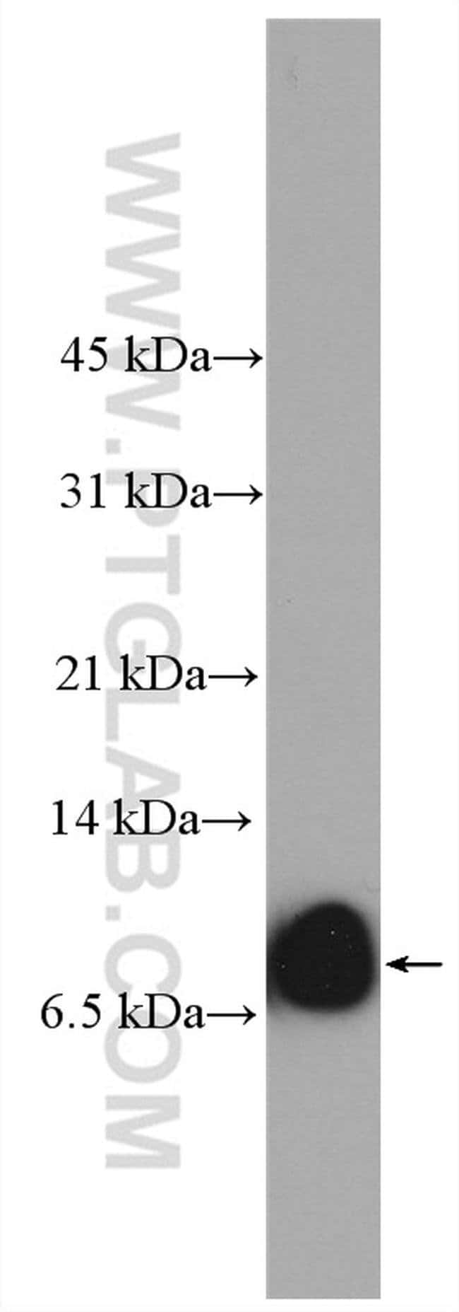 SMIM1 Rabbit anti-Human, Mouse, Polyclonal, Proteintech 20 μL; Unconjugated voir les résultats
