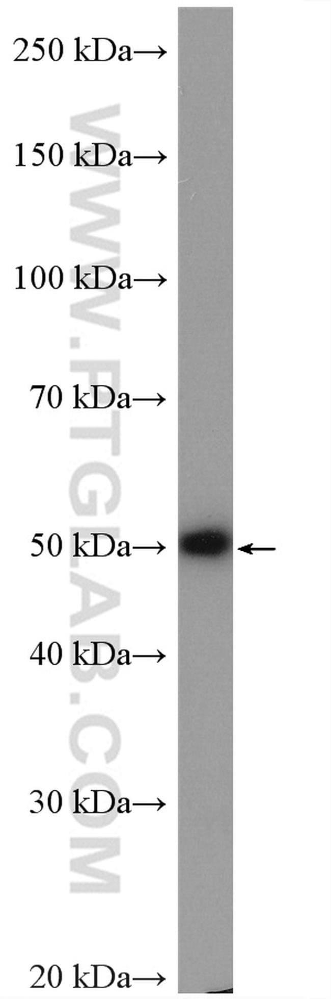 C2orf56 Rabbit anti-Human, Mouse, Rat, Polyclonal, Proteintech 20 μL; Unconjugated Produkte