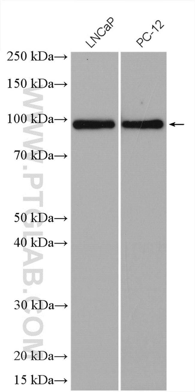 RASEF Rabbit anti-Human, Rat, Polyclonal, Proteintech 20 μL; Unconjugated Produkte