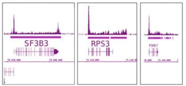 RNA pol II Mouse anti-C. elegans, Human, Mouse, Rat, Yeast, Clone: 4H8,