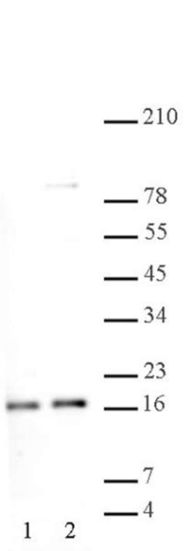 Histone H2A, acidic patch Rabbit anti-Human, Unconjugated, Polyclonal,