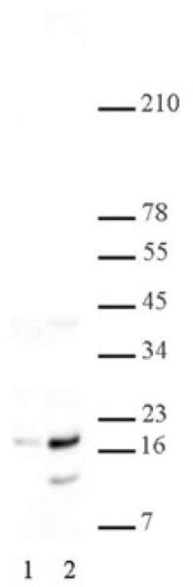 Histone H2A/H4S1ph Rabbit anti-Human, Unconjugated, Polyclonal, Active