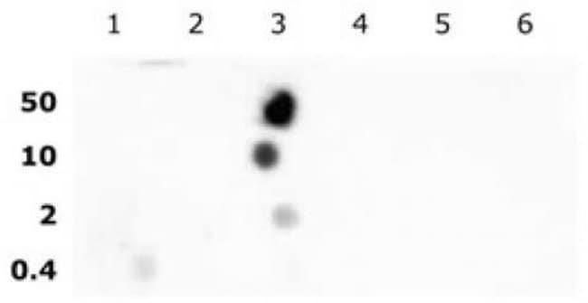 Histone H2BK16ac Rabbit anti-Human, Unconjugated, Polyclonal, Active Motif:Antibodies:Primary