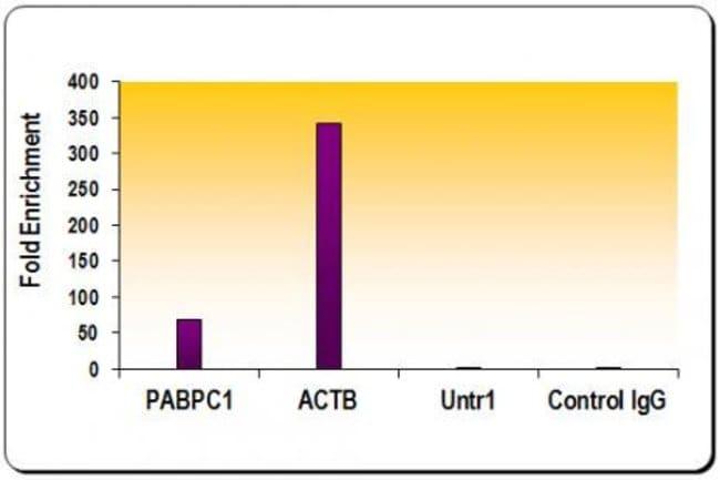 Histone H3K27ac Rabbit anti-Human, Unconjugated, Polyclonal, Active Motif:Antibodies:Primary