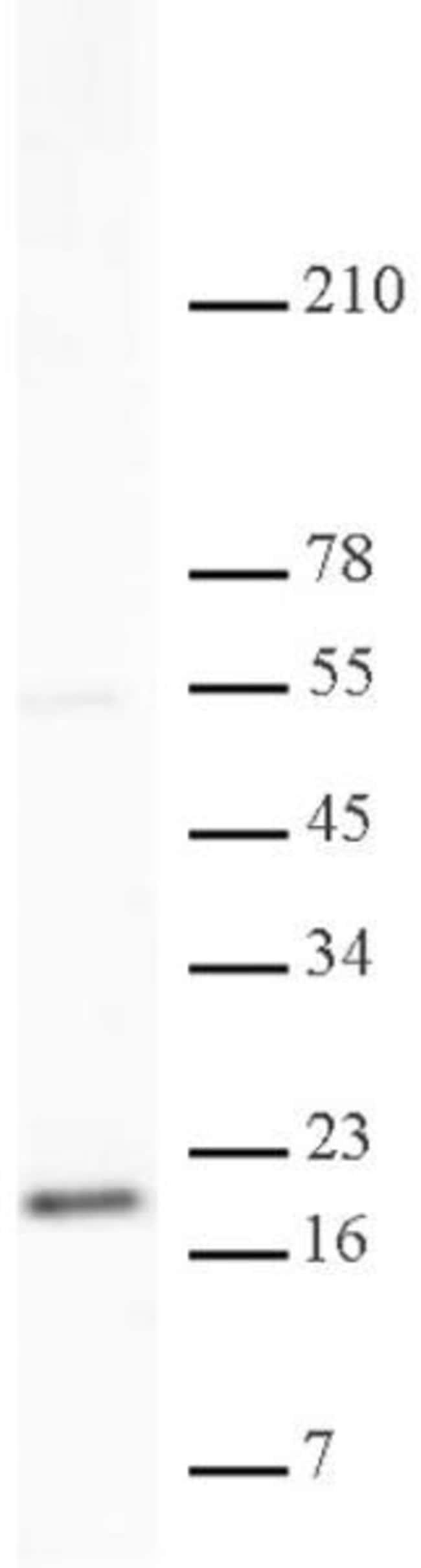 Histone H3K79me2 Rabbit anti-Human, Unconjugated, Polyclonal, Active Motif:Antibodies:Primary