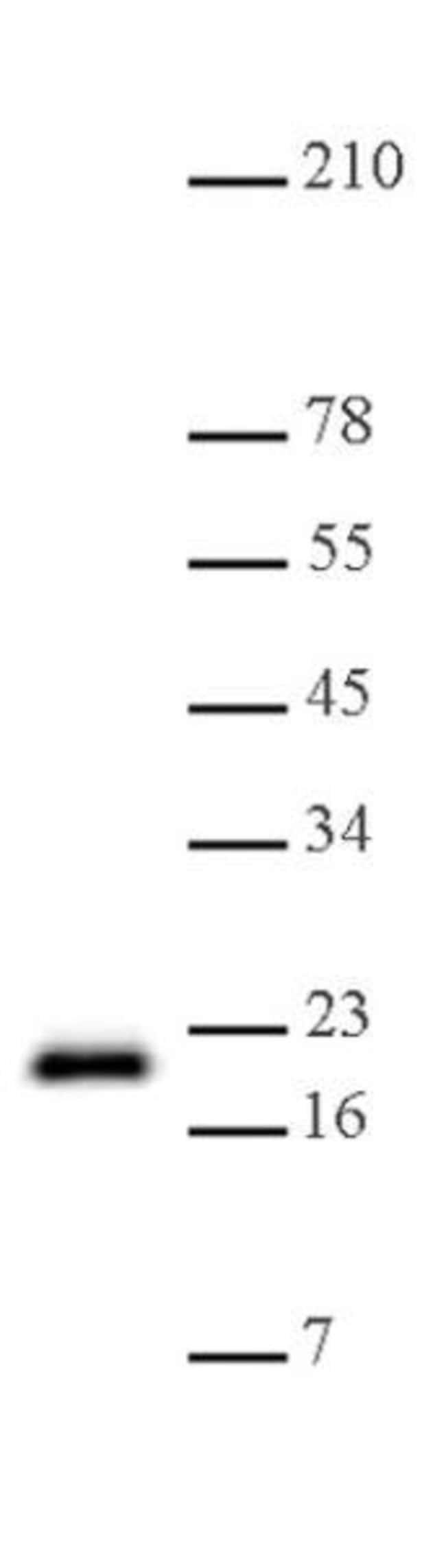Histone H3K79me1 Rabbit anti-Human, Unconjugated, Polyclonal, Active Motif:Antibodies:Primary