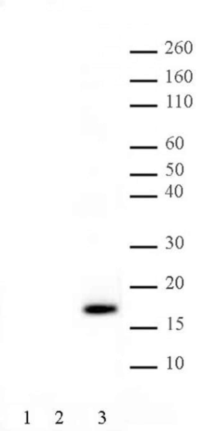 Histone H3T11ph Rabbit anti-Human, Unconjugated, Polyclonal, Active Motif:Antibodies:Primary