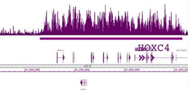 Histone H3K27me3 Rabbit anti-Human, Mouse, Unconjugated, Polyclonal, Active