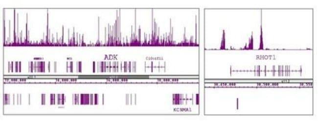 Histone H3K9me3 Rabbit anti-Human, Unconjugated, Polyclonal, Active Motif:Antibodies:Primary