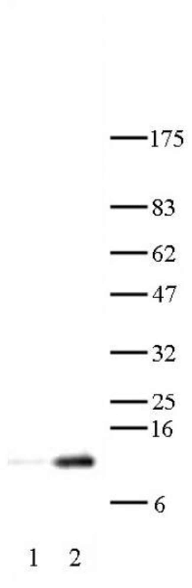 Histone H4K12ac Rabbit anti-Human, Mouse, Yeast, Unconjugated, Polyclonal,