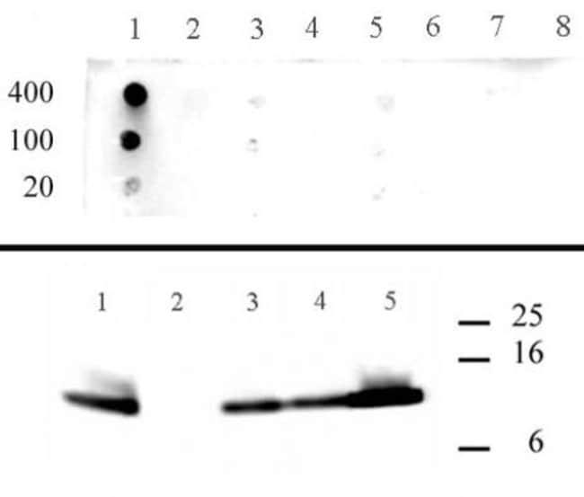 Histone H4K5ac Rabbit anti-Human, Unconjugated, Polyclonal, Active Motif:Antibodies:Primary